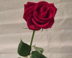 薔薇「サムライ」