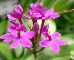 エピデンドラムの花